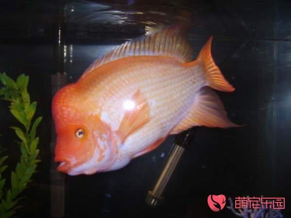 火鹤鱼怎么养